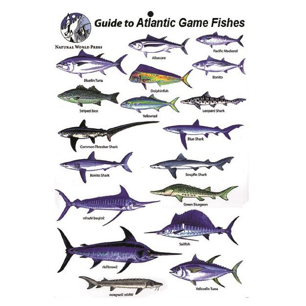 Gamefishes Of The Atlantic Fishes Card