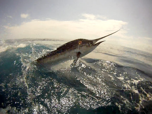Miami Sailfish / Tarpon Combo Fishing Charter Reef Wreck and Other Species
