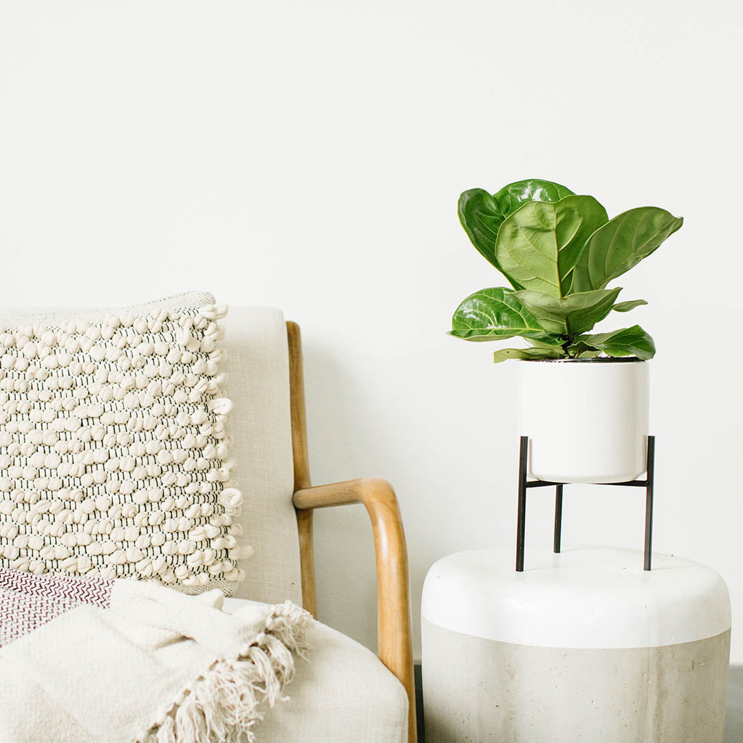 Fiddle Leaf Fig-Ficus Lyrata