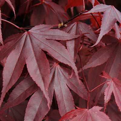 Japanese Maple - Acer palmatum 'Bloodgood'