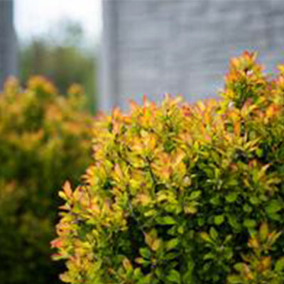Barberry - Berberis thunbergii Limoncello™