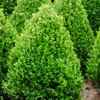 Boxwood - Buxus x 'Green Mountain'