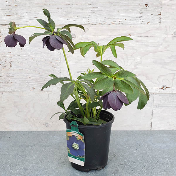 Hellebore WINTER JEWELS® 'Black Diamond'-Helleborus