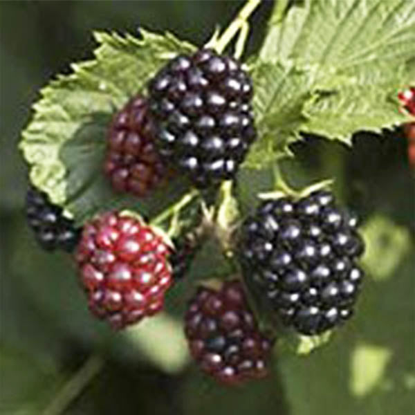 Blackberries: 'Triple Crown' Thornless