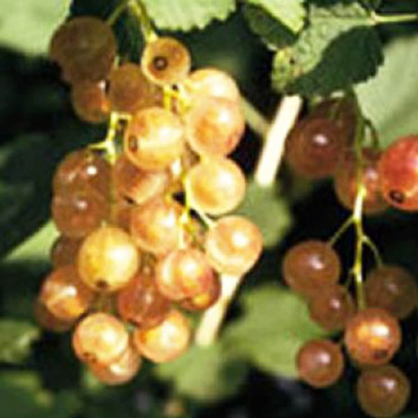 Currants: 'Pink Champagne'