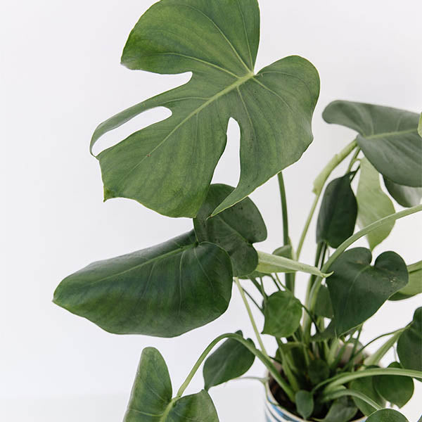 Swiss Cheese Plant-Monstera deliciosa