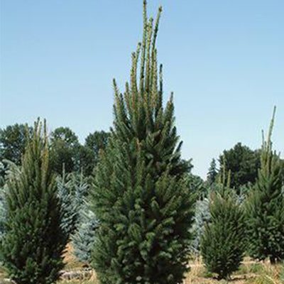 Norway Spruce - Picea abies 'Cupressina'