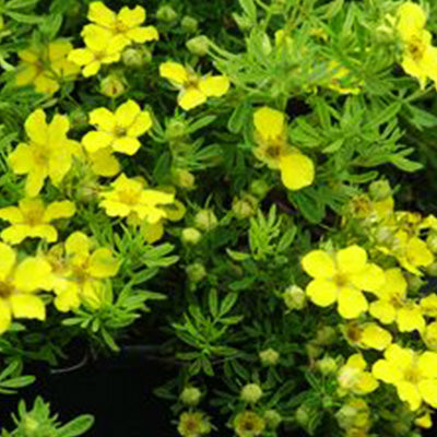 Potentilla - Potentilla fruticosa 'Gold Drop'