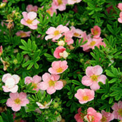 Potentilla - Potentilla fruticosa 'Pink Beauty'