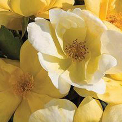 Rose - Rosa 'Radsunny' The Sunny Knock Out®