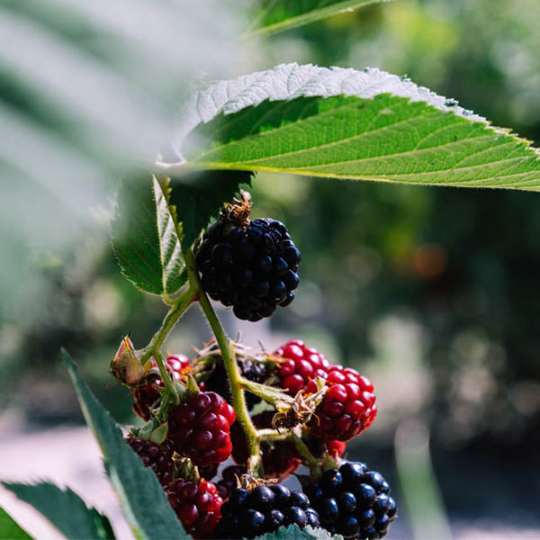 Raspberries: 'Black Munger' Summer-bearing