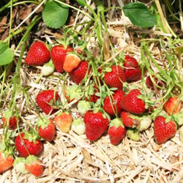 Strawberries: 'Rutgers Scarlet' June-bearing