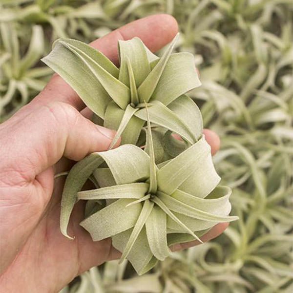 Air Plants- Streptophylla