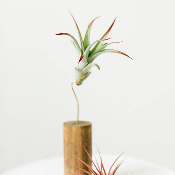 Air Plants- Brachycaulos