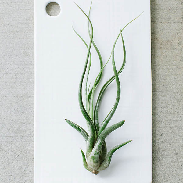 Air Plants- Bulbosa Guatemala