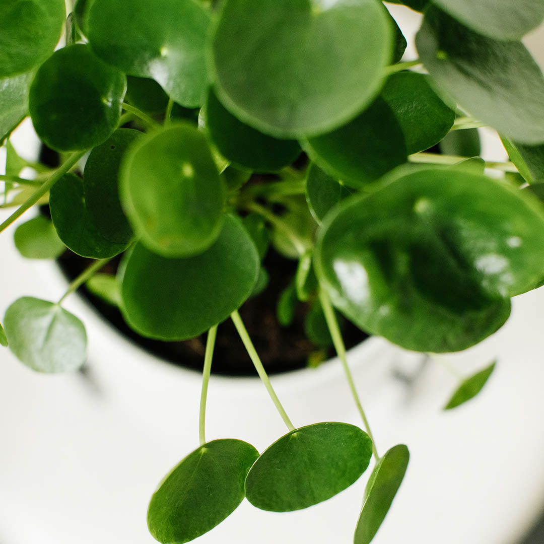 Chinese Money Plant-Pilea peperomiodes
