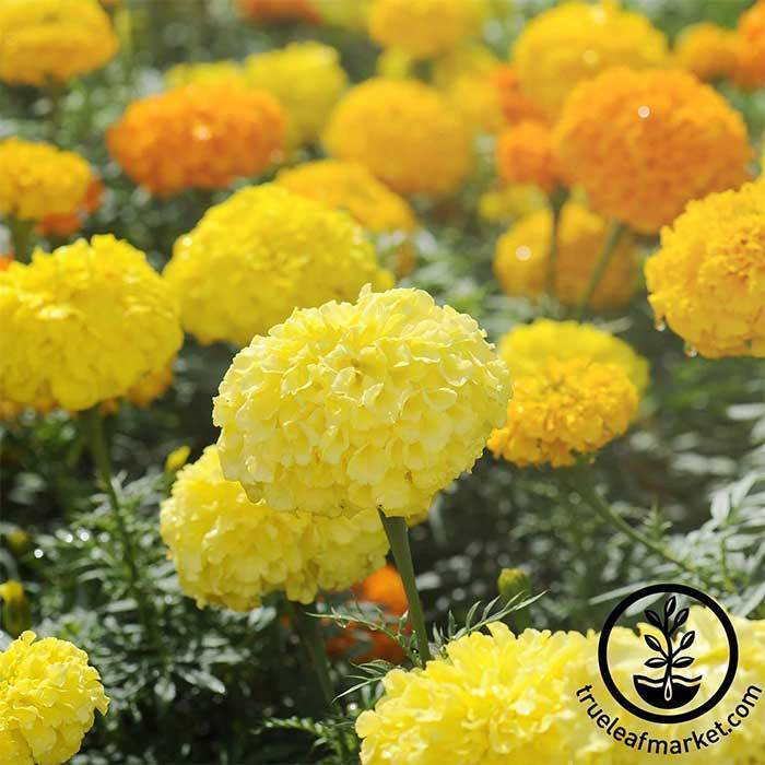 Annual Flower Seeds - Marigold 'Crackerjack Mix'