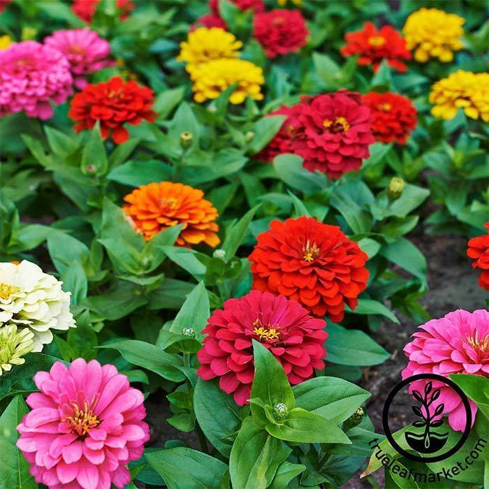 Annual Flower Seeds - Zinnia 'Dahlia Flowered Mix'