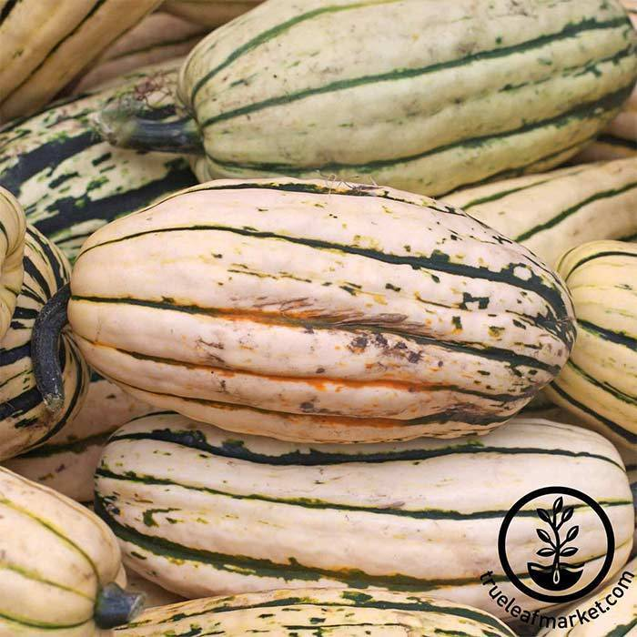 Seeds-Winter Squash, 'Delicata'