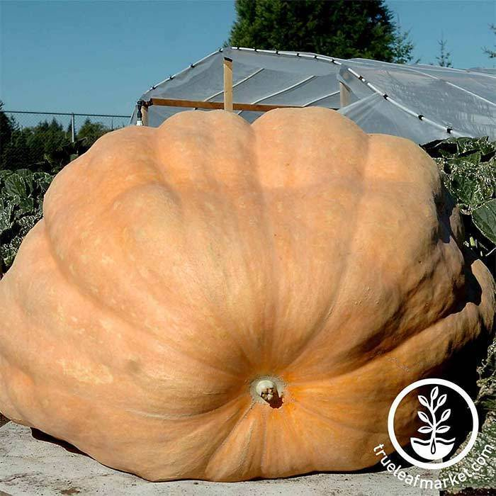 Seeds-Pumpkins, 'Dill's Atlantic Giant'