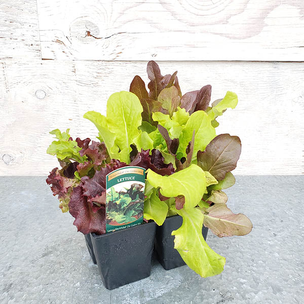 Lettuce SIMPLY SALAD® 'City Garden Mix'-Lactuca