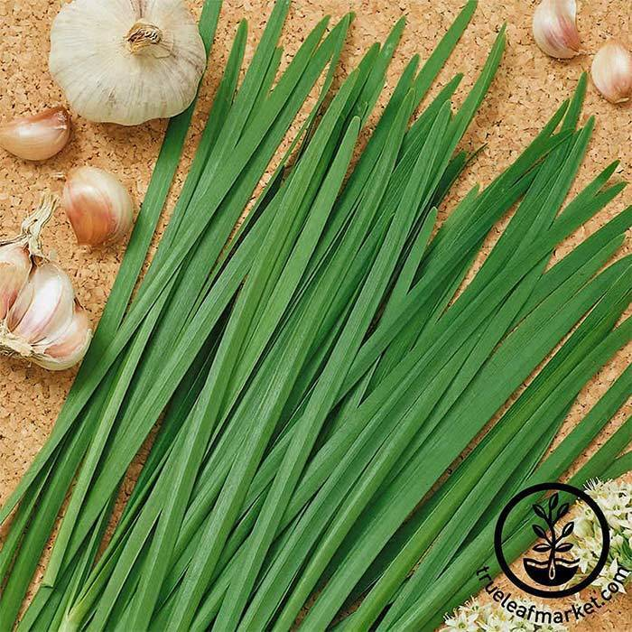 Seeds-Herbs, Chives 'Garlic'