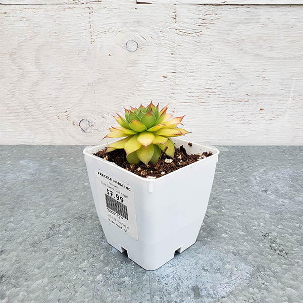 Succulent: 'Gold Nugget' Chick Charms Sempervivum