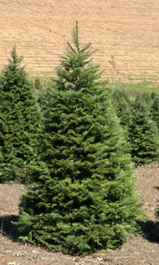 Grand Fir-Abies grandis
