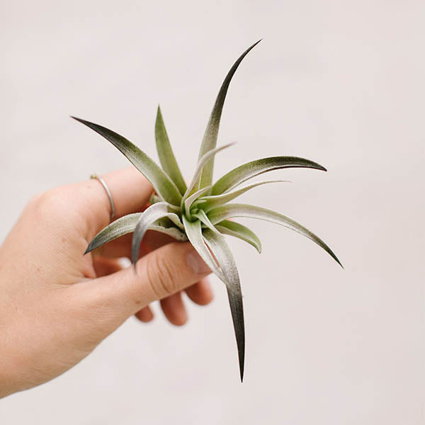 Air Plants-Harrisii Black
