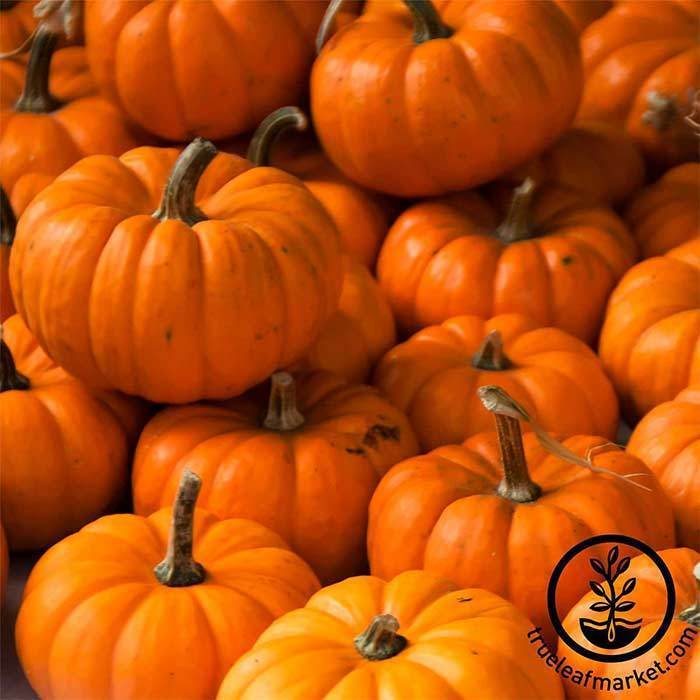 Seeds-Pumpkins, 'Jack Be Little'