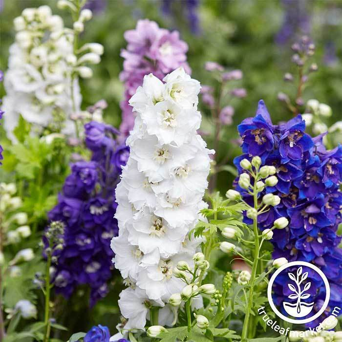 Annual Flower Seeds - Larkspur 'Mixed Colors'
