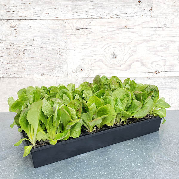 Lettuce 'Buttercrunch'-Lactuca sativa