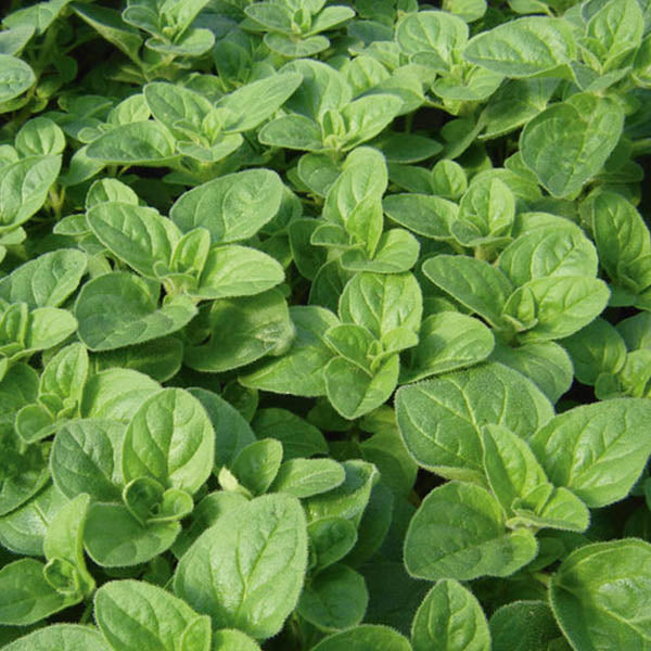 Herbs: Oregano 'Greek'