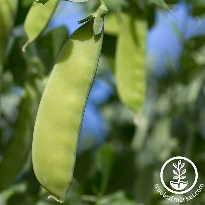 Seeds-Snow Peas, 'Oregon Giant'