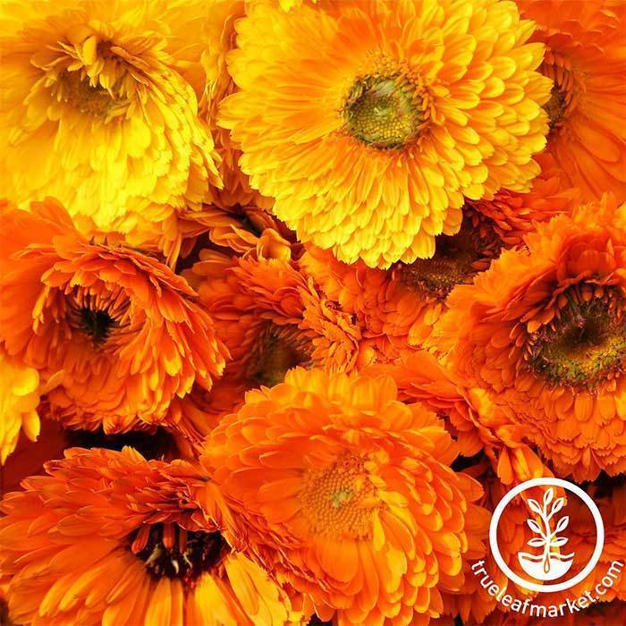 Annual Flower Seeds - Calendula 'Pacific Beauty'