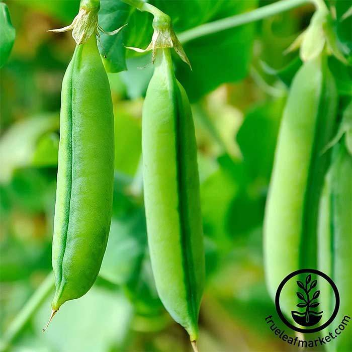 Seeds- Pea, 'Sugar Snap'