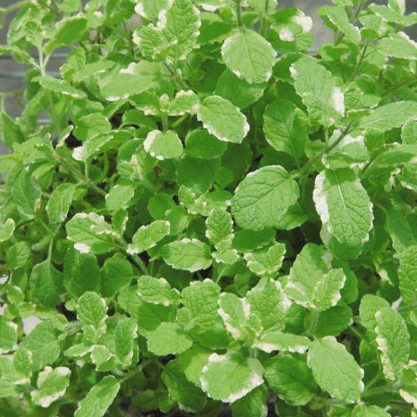 Herbs: Mint 'Pineapple'