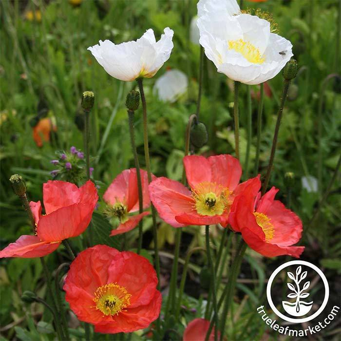 Perennial Flower Seeds- Iceland Poppy, 'Mixed Colors'
