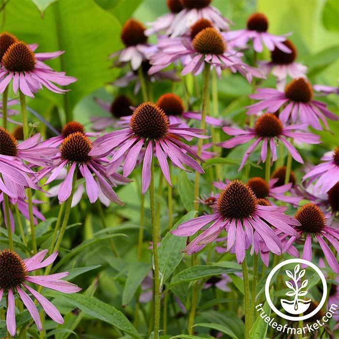 Wildflower Seeds - Purple Coneflower Echinacea purpurea
