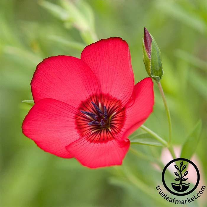 Wildflower Seeds - Scarlet Flax Linum grandiflorum