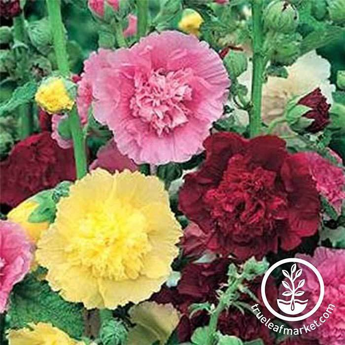 Perennial Flower Seeds- Hollyhock, 'Summer Carnival Mix'