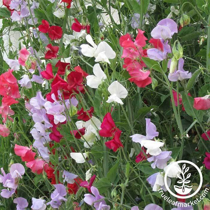 Perennial Flower Seeds- Sweet Pea Everlasting, 'Mixed Colors'