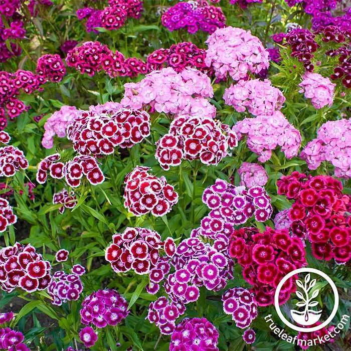Perennial Flower Seeds- Sweet William, 'Double Mixture'