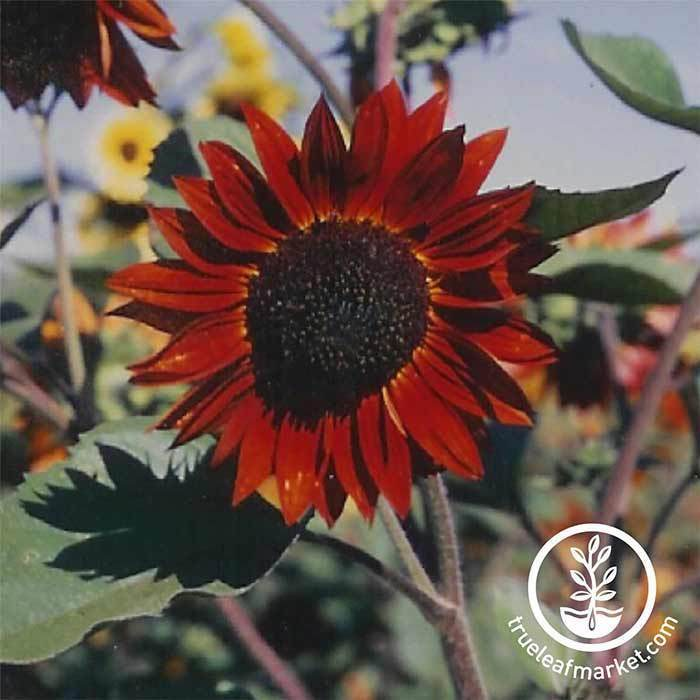 Annual Flower Seeds - Sunflower 'Velvet Queen'