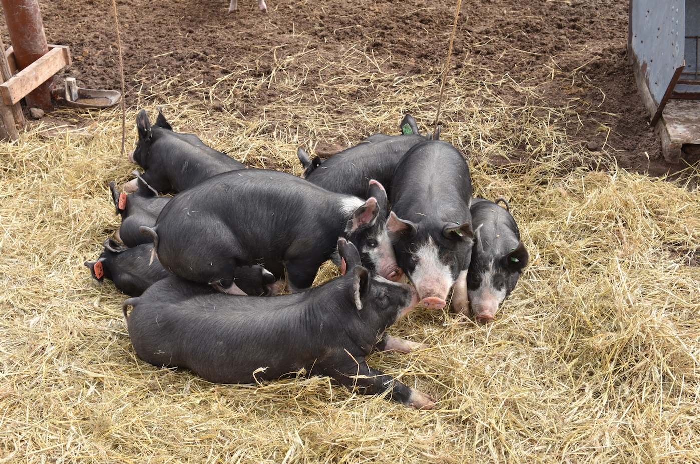 The Tender Belly Difference: Heritage Hogs