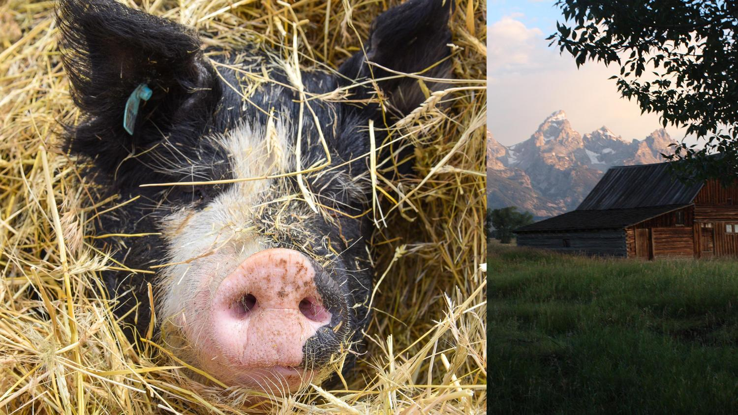 Picture of a Tender Belly pig and a farm with mountains behind it