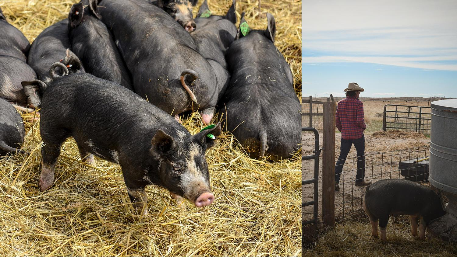 Collage of nine Tender Belly hogs as well as a hog farmer with a hog