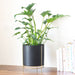 Noir black Planter with gold stand & Philodendron Xanadu in it, place on a table top with books next to it