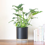 Noir black Planter with gold stand & Philodendron Xanadu in it, place on a table top
