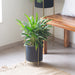 Noir black Planter with gold stand & Philodendron Xanadu